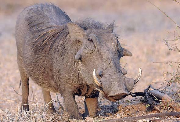 1-warthog-gc590a