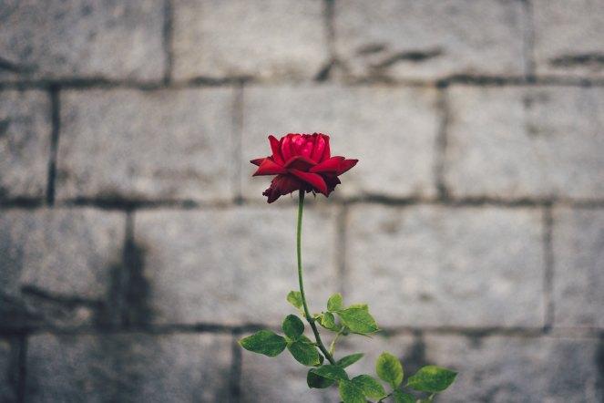 rose masaaki-komori-582888-unsplash.jpg